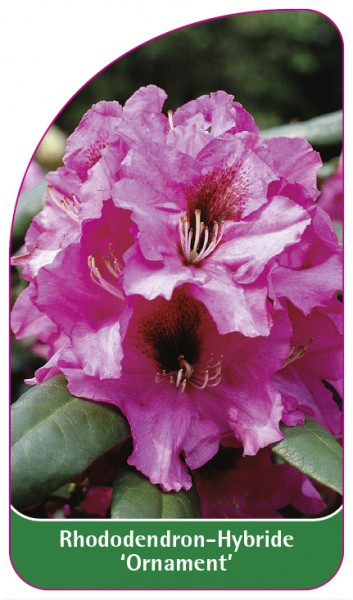 Rhododendron-Hybride 'Ornament', 68 x 120 mm