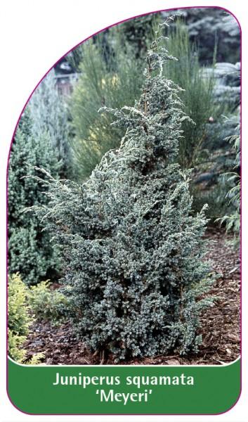Juniperus squamata 'Meyeri', 68 x 120 mm