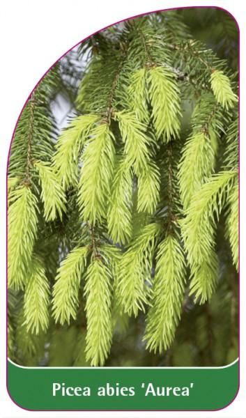 Picea abies 'Aurea', 68 x 120 mm