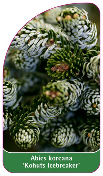 Abies koreana 'Kohuts Icebreaker', 68 x 120 mm