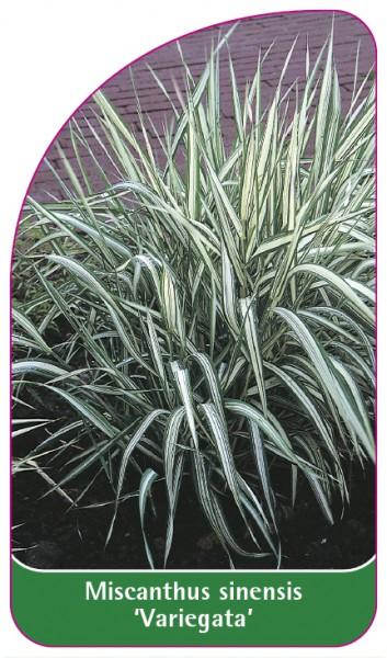 Miscanthus sinensis 'Variegata', 68 x 120 mm