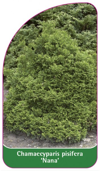 Chamaecyparis pisifera 'Nana', 68 x 120 mm