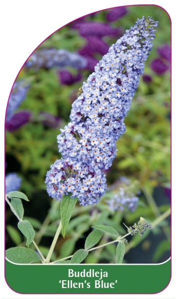 Buddleja 'Ellen's Blue', 68 x 120 mm