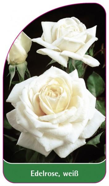 Edelrose, weiß, 68 x 120 mm