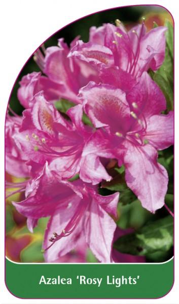 Azalea 'Rosy Lights', 68 x 120 mm