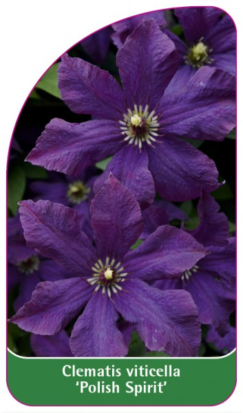 Clematis viticella 'Polish Spirit', 68 x 120 mm