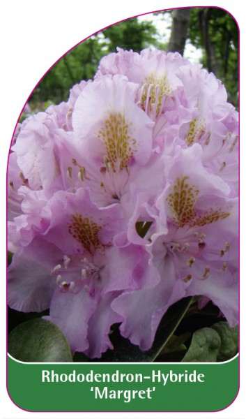 Rhododendron-Hybride 'Margret', 68 x 120 mm