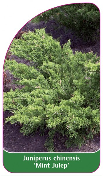 Juniperus chinensis 'Mint Julep', 68 x 120 mm