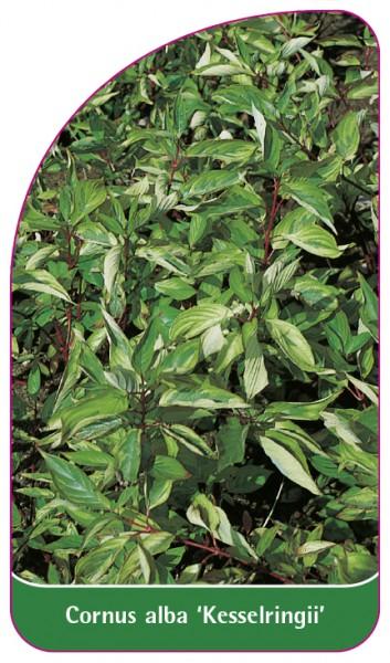 Cornus alba 'Kesselringii', 68 x 120 mm