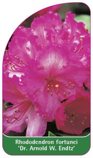 Rhododendron fortunei 'Dr. Arnold W. Endtz', 68 x 120 mm