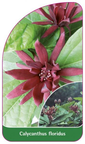 Calycanthus floridus, 68 x 120 mm