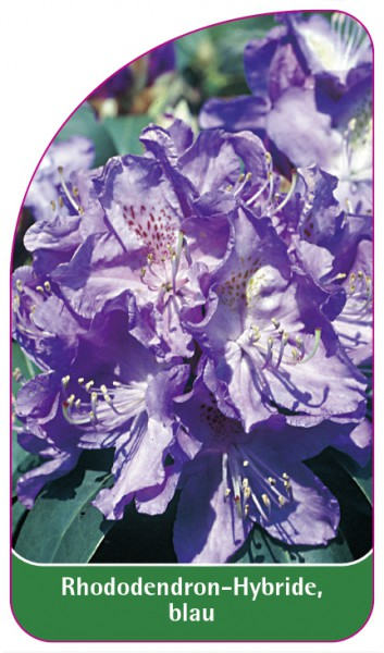 Rhododendron-Hybride, blau, 68 x 120 mm