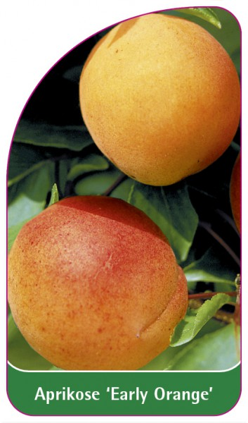 Aprikose 'Early Orange', 68 x 120 mm