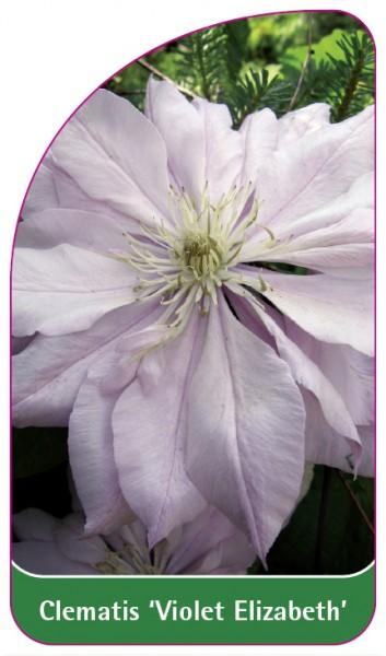 Clematis 'Violet Elizabeth', 68 x 120 mm