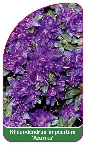 Rhododendron impeditum 'Azurika', 52 x 90 mm