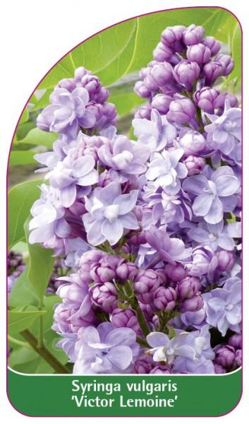 Syringa vulgaris 'Victor Lemoine, 68 x 120 mm