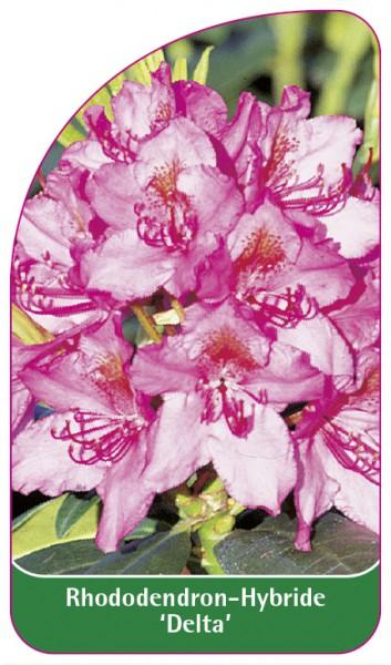Rhododendron-Hybride 'Delta', 68 x 120 mm