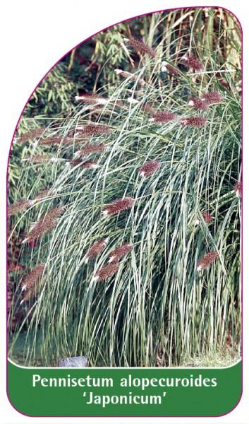 Pennisetum alopecuroides 'Japonicum', 68 x 120 mm