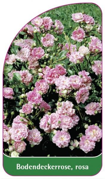 Bodendeckerrose, rosa, 68 x 120 mm