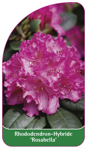 Rhododendron-Hybride 'Rosabella', 68 x 120 mm
