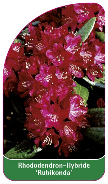 Rhododendron-Hybride 'Rubikonda', 68 x 120 mm