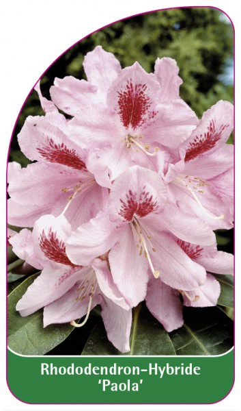 Rhododendron-Hybride 'Paola', 68 x 120 mm