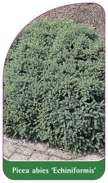 Picea abies 'Echiniformis', 68 x 120 mm