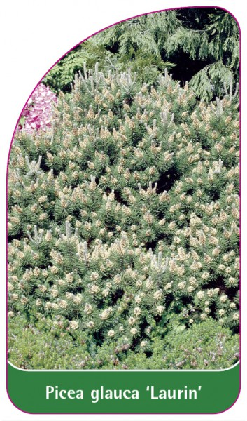 Picea glauca 'Laurin', 68 x 120 mm