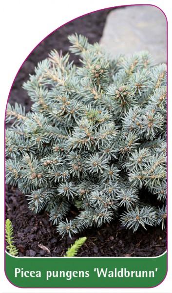 Picea pungens 'Waldbrunn', 68 x 120 mm