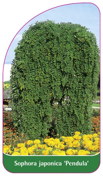 Sophora japonica 'Pendula', 68 x 120 mm