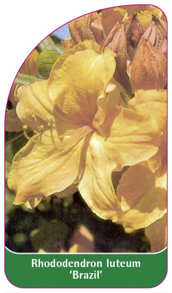 Rhododendron luteum 'Brazil', 68 x 120 mm