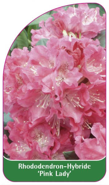 Rhododendron-Hybride 'Pink Lady', 68 x 120 mm