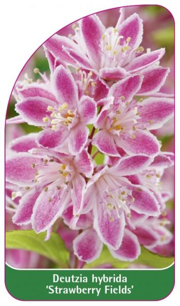 Deutzia hybrida 'Strawberry Fields', 68 x 120 mm
