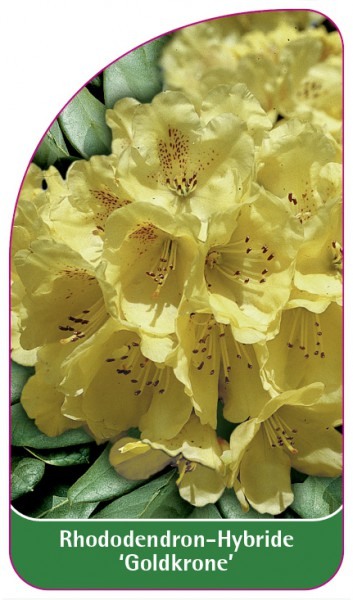 Rhododendron-Hybride 'Goldkrone', 68 x 120 mm
