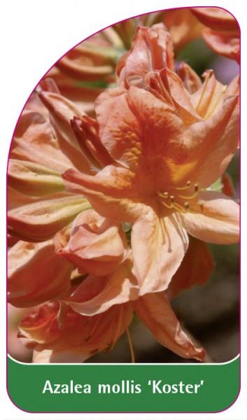 Azalea mollis 'Koster', 68 x 120 mm
