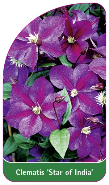 Clematis 'Star of India', 68 x 120 mm