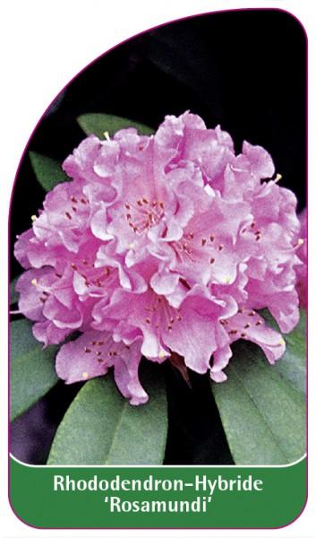 Rhododendron yakushimanum 'Rosamundi', 68 x 120 mm