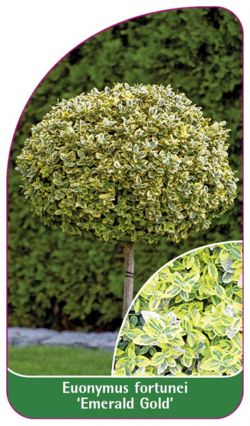 Euonymus fortunei ,Emerald Gold', 68 x 120 mm