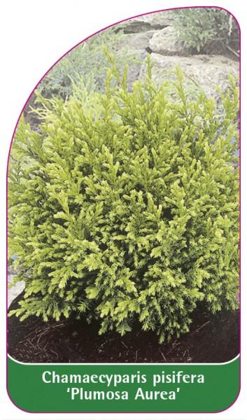 Chamaecyparis pisifera 'Plumosa Aurea', 68 x 120 mm