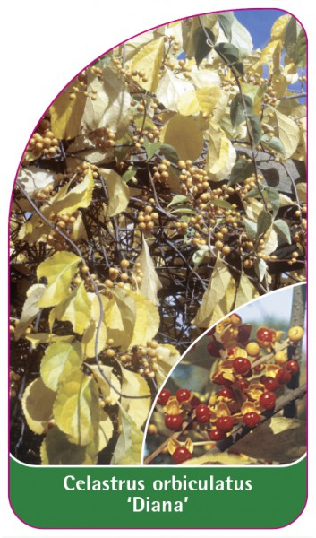Celastrus orbiculatus 'Diana', 68 x 120 mm