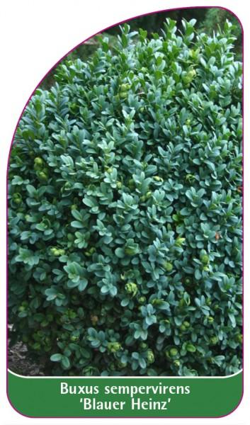 Buxus sempervirens 'Blauer Heinz', 68 x 120 mm