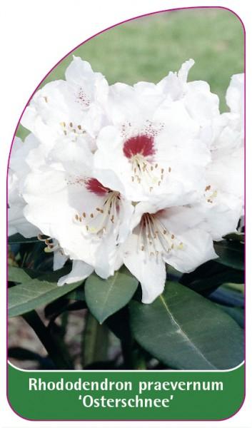 Rhododendron praevernum 'Osterschnee', 68 x 120 mm