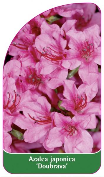 Azalea japonica 'Doubrava', 68 x 120 mm