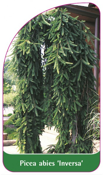 Picea abies 'Inversa', 68 x 120 mm