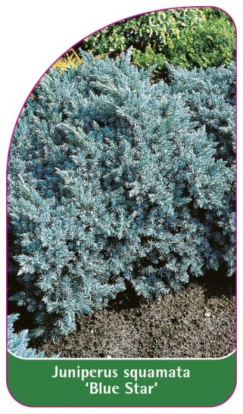 Juniperus squamata 'Blue Star', 68 x 120 mm