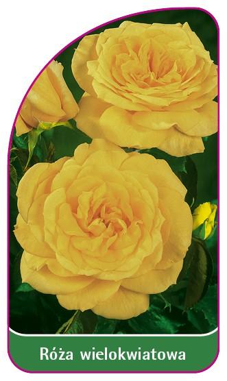 Róza wielokwiatowa Nr. 264 B, 52 x 90 mm