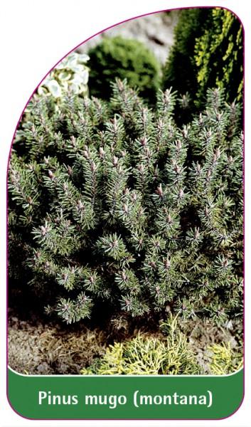 Pinus mugo (montana), 68 x 120 mm