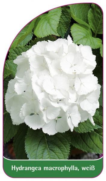 Hydrangea macrophylla, weiß, 68 x 120 mm