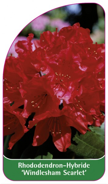 Rhododendron-Hybride 'Windlesham Scarlet', 68 x 120 mm