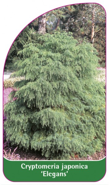 Cryptomeria japonica 'Elegans', 68 x 120 mm